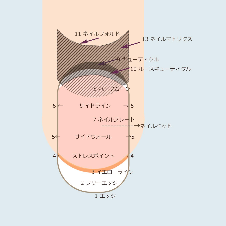 爪の構造1